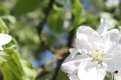 Zarte Obstblüte auf einer Bauernwiese