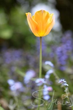 Leuchtende Tulpe in einem Vorgarten